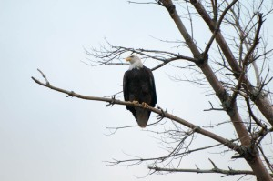 Bald Eagle along the Connecticut River.