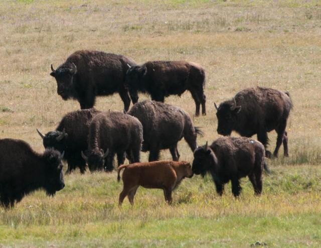 Buffalo graze along the road into North Rim, Grand Canyon.