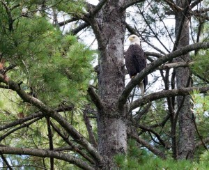 One of two Bald Eagles sighted below Comerford Dam.