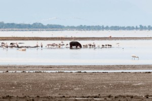 Hippopotamus among shorebirds, Lake Manyara N.P., Tanzania.