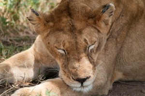 Lioness dozing; Serengeti N.P., Tanzania.