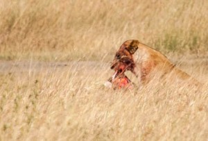 A lioness pauses while eating her kill, Serengeti N.P., Tanzania.