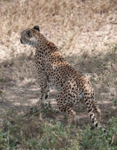 A cheetah trots off to hunt gazelle.