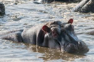 Hippopotamus, Serengeti N.P., Tanzania.