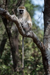 Black-faced (vervet) monkey - Ndarkwai Ranch