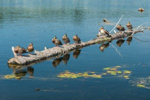 Got all my ducks in a row (at Wilder Dam).