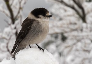 Gray Jays are an ever-present companion at snack stops at higher elevation.