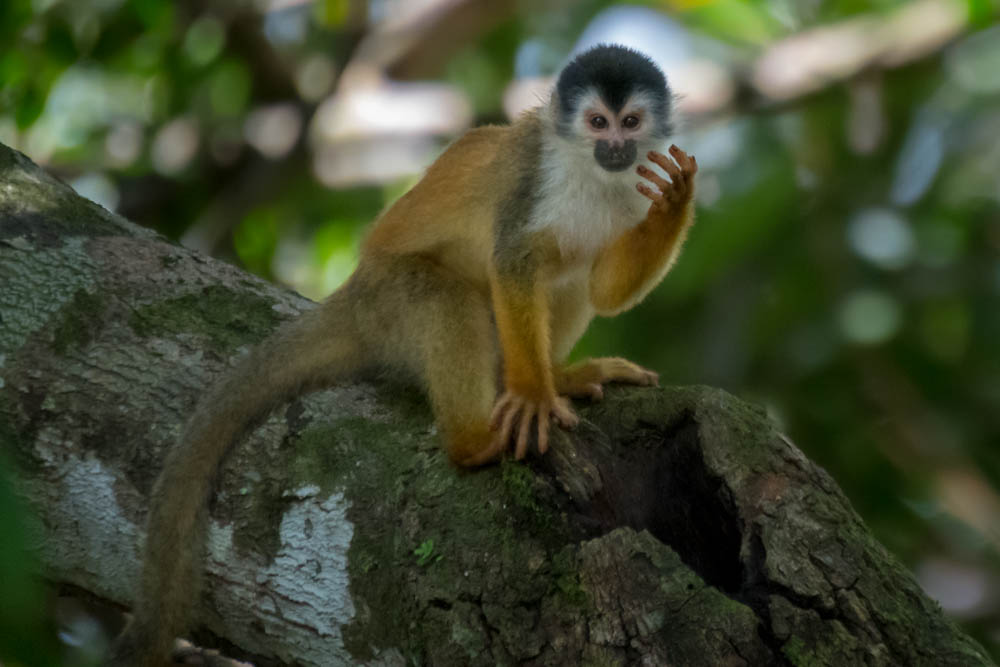 Central American squirrel monkey, drinking from a puddle in the knot of a tree branch.