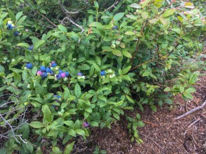Beautiful wild blueberries along the Mount Abraham ridge.