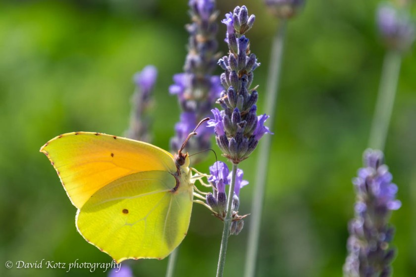 Butterflies in lavender plants - Provence.
